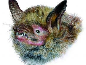 Chauve souris Myotis emarginatus