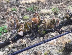 La vigne ravagée par le gel